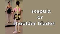 scapula or shoulder blades
